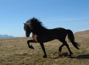 Pictures and Names (Bios coming soon!) Icelandic_horse_vymt